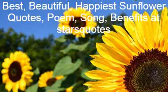 Best, Beautiful, Happiest Sunflower Quotes, Poem, Song, Benefits at starsquotes